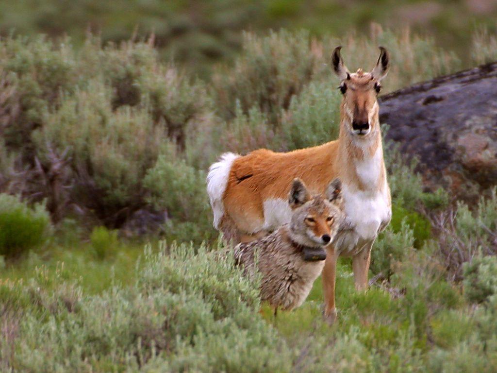 1 речные выдры, обитающие в йеллоустонском национальном парке, штат вайоминг (yellowstone national park, wyoming)