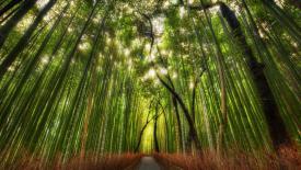 Бамбуковый лес в Киото