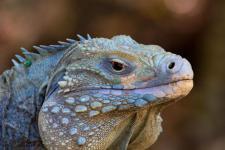 Голубая игуана - Каймановы острова