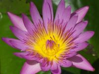 Ботанический сад Памплемус на Маврикии